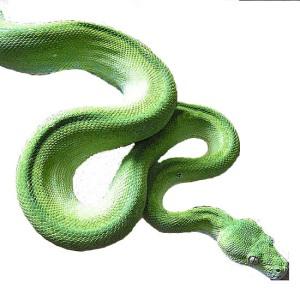 Snake GreenPython no background